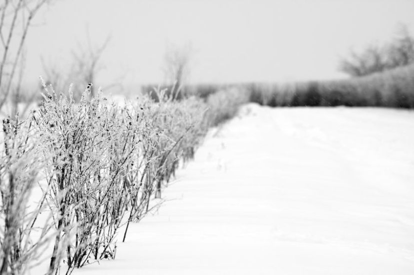 18364661 - hoarfrost on the hedge of rural road