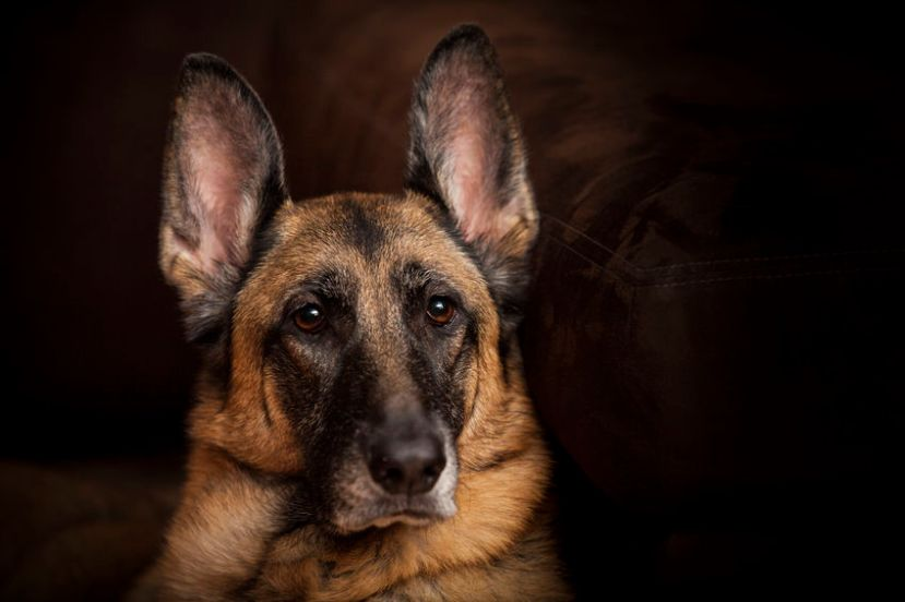 32747376 - female german shepherd dog looks alert portrait with eyes in focus