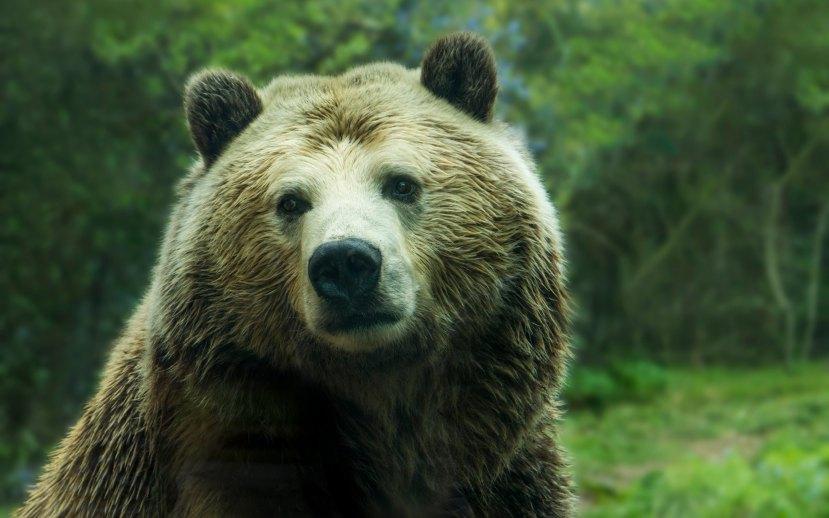 Animal_Portrait_Bear_wallpaper