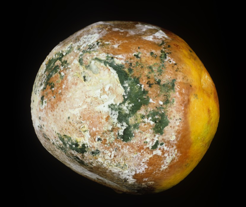 Brown rot (Trichoderma sp.) green storage mould orange fruit